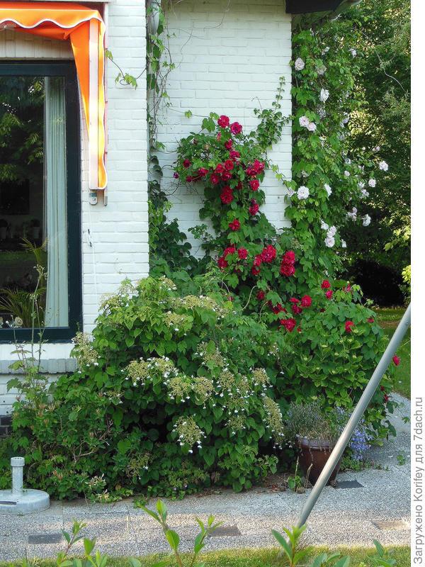 Многие голландцы с удовольствием выращивают и ухаживают за плетистыми розами и гортензиями
