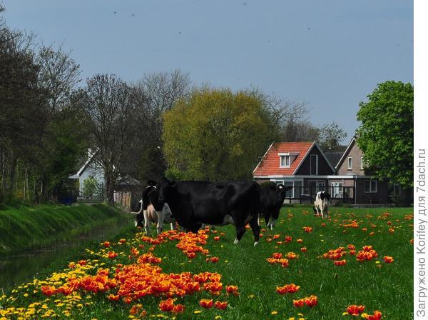 Ну а это вообще классическая картина - Фландрия в конце апреля ))))