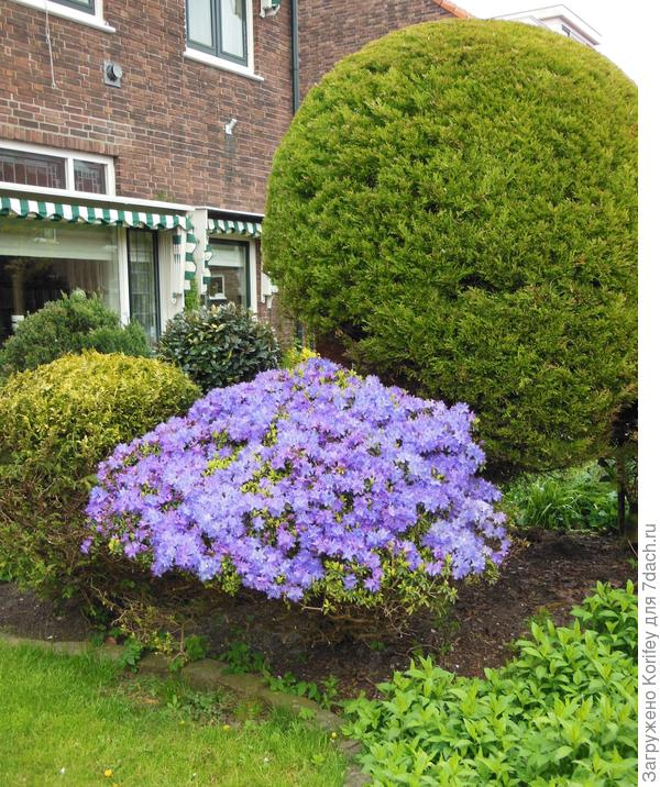 Да и просто любой обильно и ярко цветущий куст или кустарник всегда украсят любой уголок Вашего сада