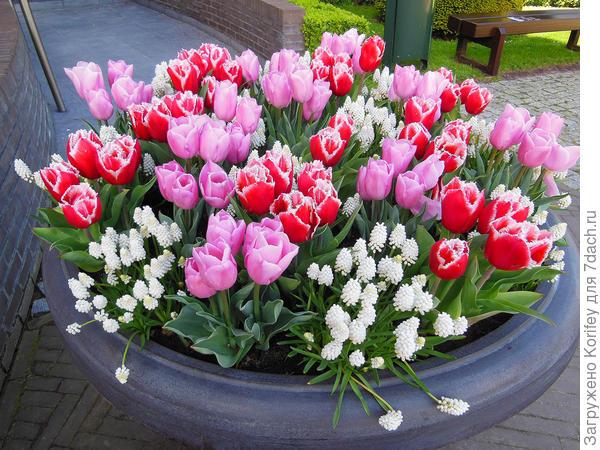 Тюльпаны и мускари всегда хорошо смотрятся как на клумбе, так и в большой напольной вазе