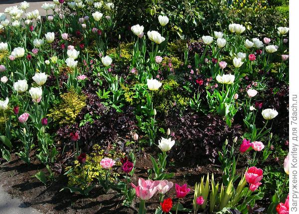 Посмотрите, как хорошо сочетаются самые разные по окраске и форме цветка тюльпаны с контрасными астильбами, гейхерами и даже вариегатным ирисом на переднем плане