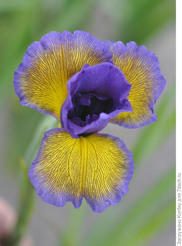Iris spuria, сорт Nothern Moss