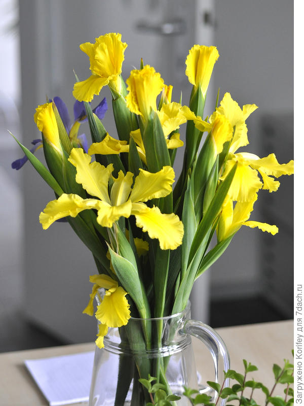 Он же (Iris spuria Jubilant Spirit) в срезке