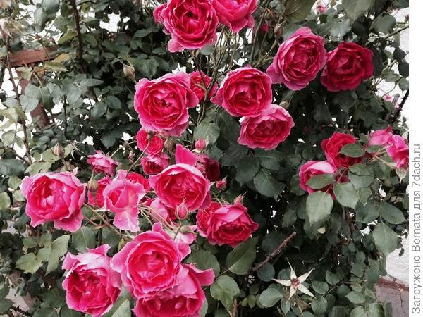 розы на последний звонок