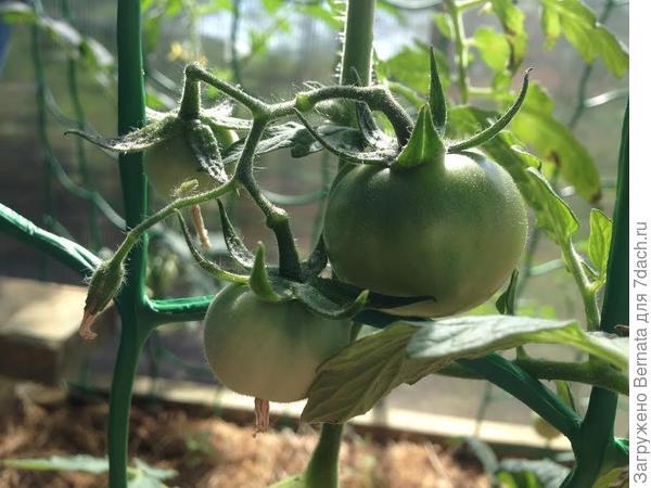 помидорки в теплице