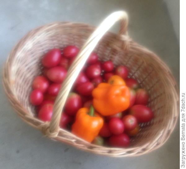 Утренний сбор урожая