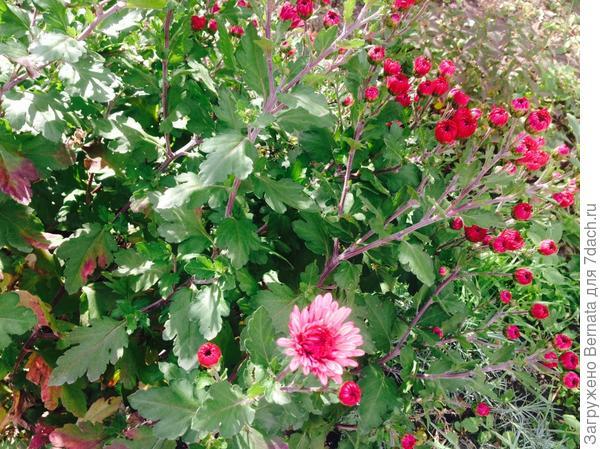 мои прошлогодние хризантемы