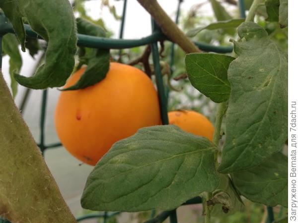 помидоры -начало ноября