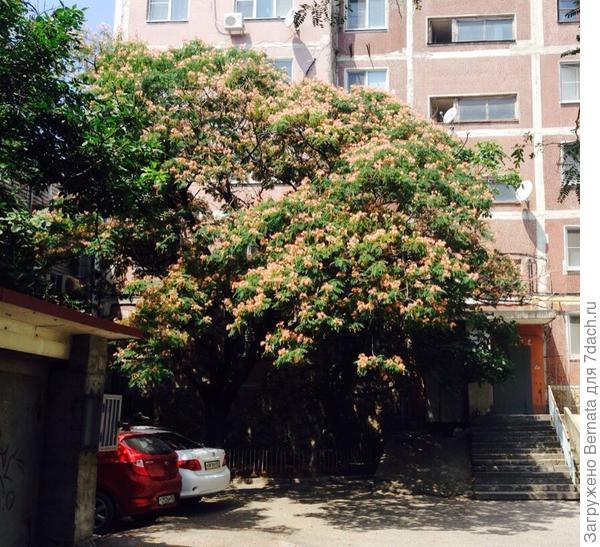 Взрослое дерево. Растет не слишком быстро. До пятого этажа доросло за 30 лет.