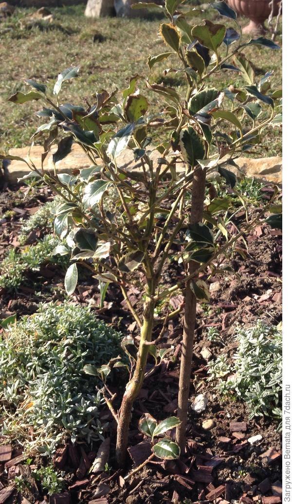 Листья падуба, кое-где почернели после зимы... Нужно ли их удалять? Нужно ли проводить санитарную обрезку?