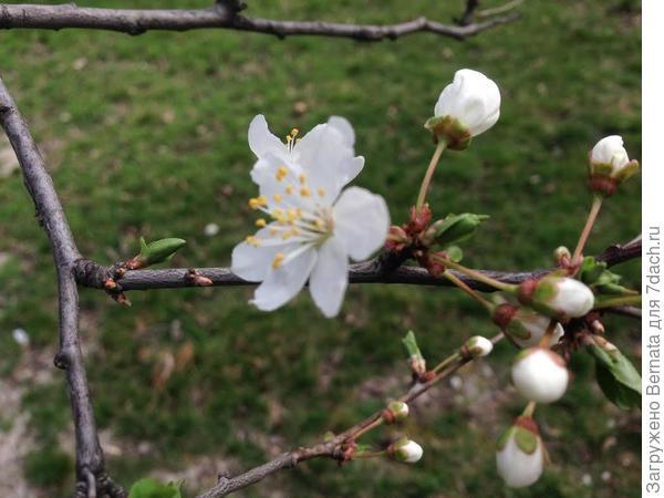 Цветок алычи