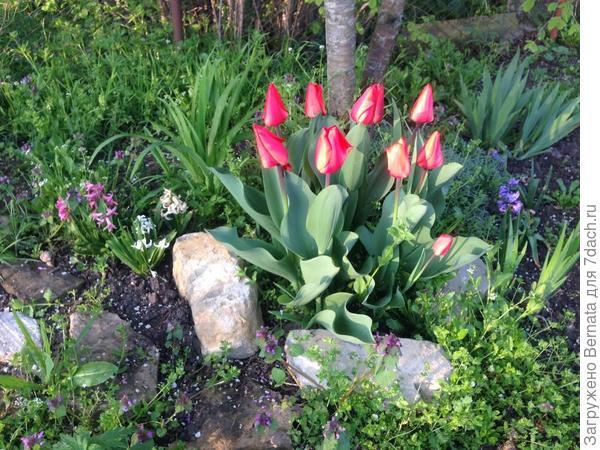 Сложность представляют лишь луковичные и хосты, которых нет зимой, когда он беспрепятственно бегает вдоль забора, но неожиданно появляются весной.