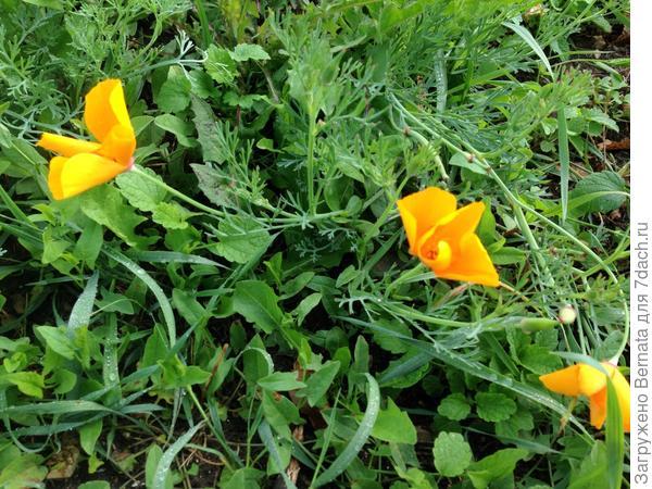 А это эшшольция, посеянная и забытая:), выросла среди травы...