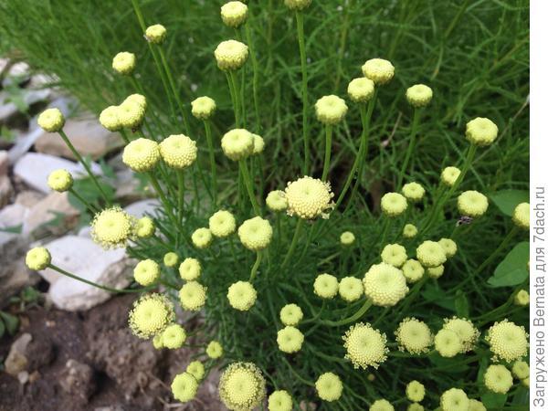 Это сантолина от Светы:) Не из семян- просто хвастаюсь:))
