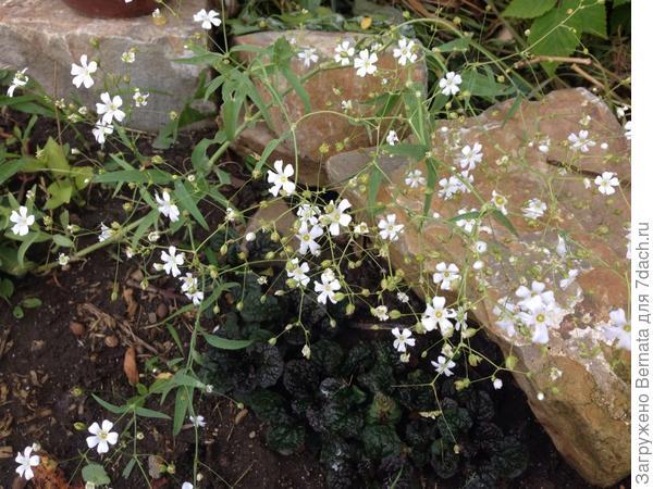А это гипсофила из семян от Людмилы из Екатеринбурга:))