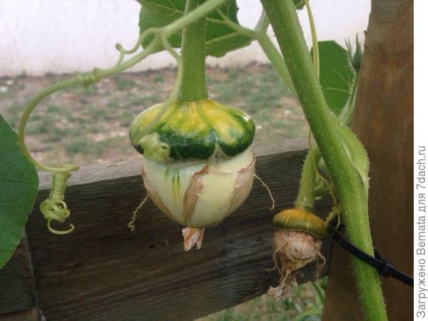 Знала бы ты, как я переживала, что ошиблась с семенами:))))