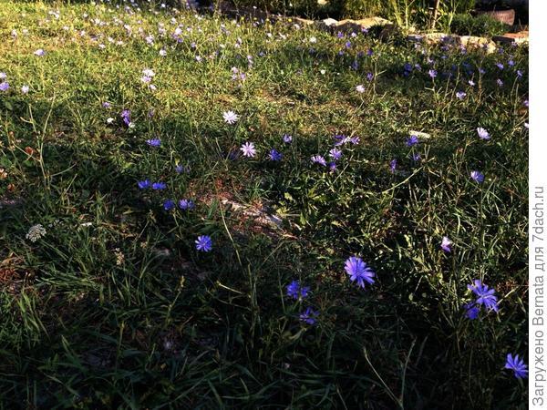 """После сильного ливня, прошедшего две недели назад.., чуть позеленел газон... Но трава не торопится расти вверх... """"Там"""" жарко... Только цикорию ничего не страшно..."""