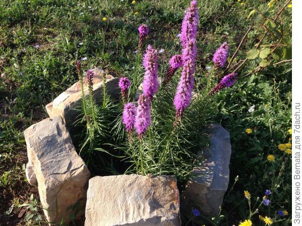 """Цветущими пока остаются лишь те, которые посадила почти летом, в каменные """"чаши"""", в которых цвели тюльпаны..."""
