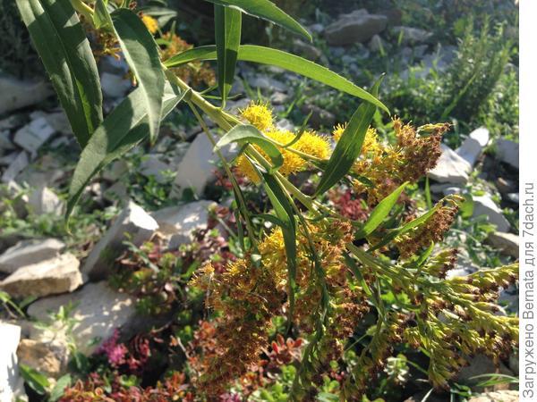 А золотарник, так и, вообще, сорняк... Зато жару нашу выдерживает... Не хуже очитков....