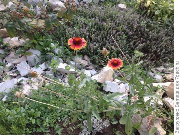Здесь все цветут.., кроме шалфея, который я уже обрезала и собрала семена...