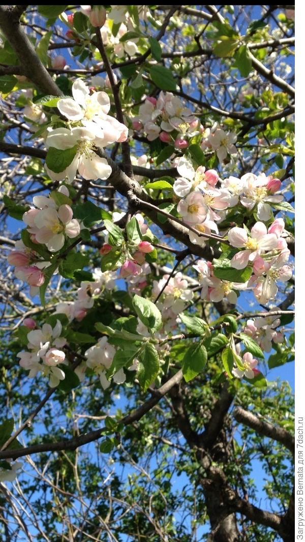 Цветение яблони-дички