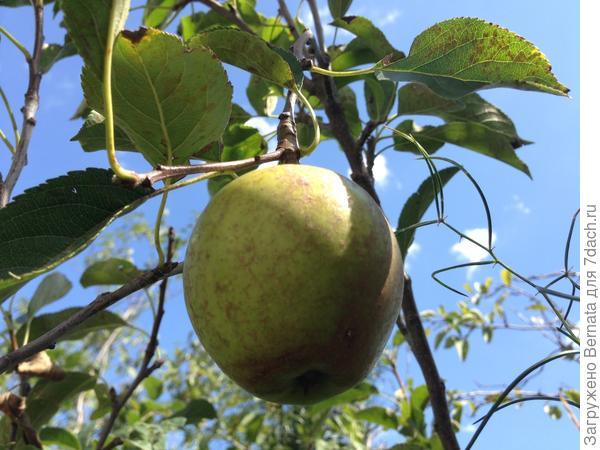 Яблочко Голден