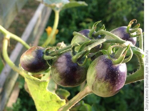 Начало созревания Синей грозди