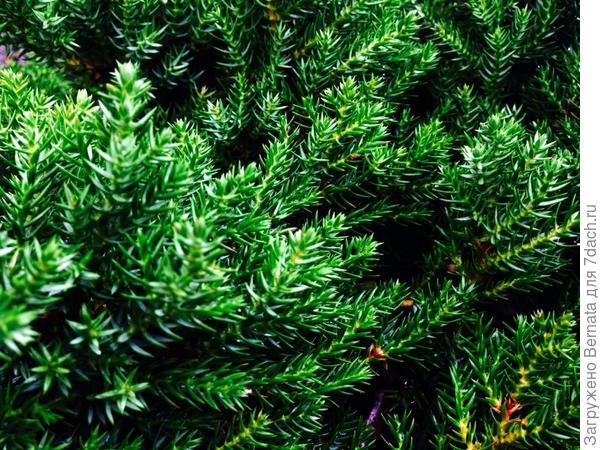 """На зелёной """"шубке"""" будут очаровательно смотреться тёмно-синие ягодки"""