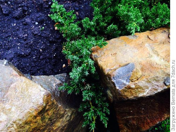 Очень хорошо смотрится в каменистых садах