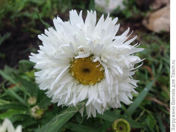 """Сорт """"Снегурка"""". Высота кустиков вместе с цветоносами 10 см. Диаметр цветка 5 см. Если посадить полянку, то листьев видно не будет. Крупные махровые цветки."""