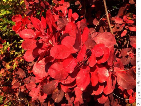 Осенний наряд скумпии