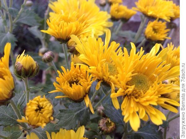 Какой-то неведомый сорт низкорослой хризантемы... Начинает цветение, как игольчатая... А потом на концах становится трубчатой, а серединка плоская....
