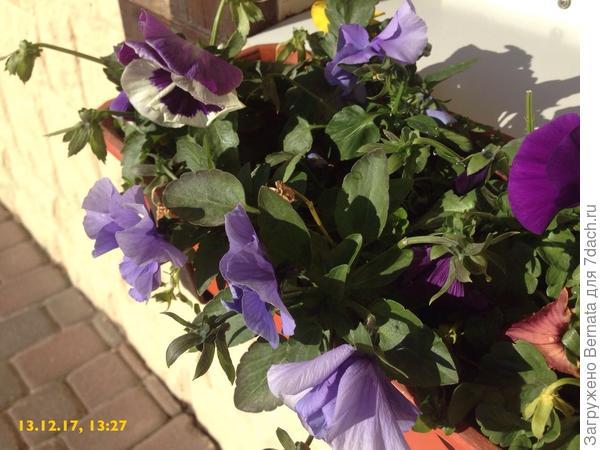 Виолы - круглогодичный цветок...