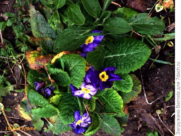 А пока... Тоже цветут примулы:))))