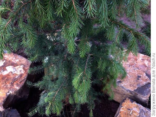 Нижние ветки у моей ёлочки плакучей формы, но это не Pendula, так как верхние растут строго вверх.