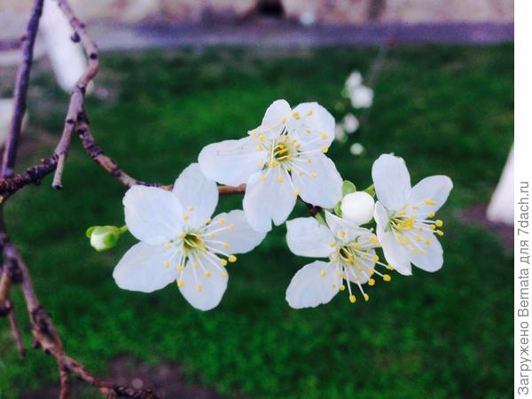 Алыча... Первая из садовых деревьев...