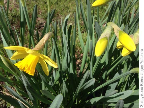 Именно с распусканием нарциссов для меня приходит весна ...