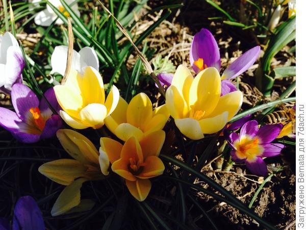 Крокусам не страшен мороз, пережили морозы до -7 в конце февраля, продолжая цвести...