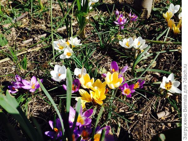 И крокусы цветут с первой декады февраля...