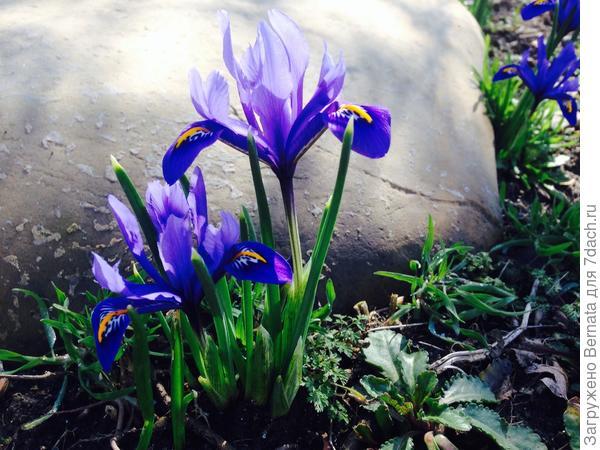 Хотя сетчатые ирисы цветут уже месяц...