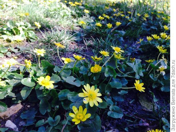 А по всей округе вот такие желтые полянки...,                     Северяне.., принимайте эстафету!!! Весна направляется к вам !!!