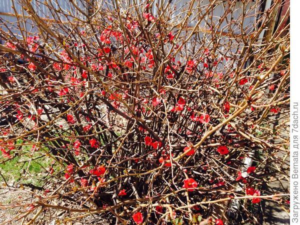 Хеномелес цветет уже месяц, как и крокусы...