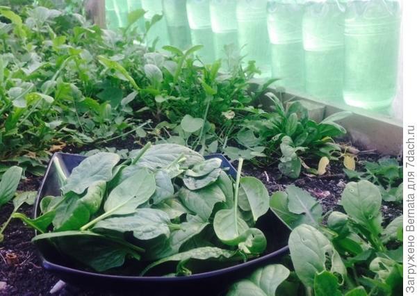 Всю зиму растет шпинат, салаты, кинза, рукола ... Без отопления