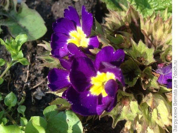 Вот эта примула цветет, БЕСПРЕРЫВНО, с ноября !!!