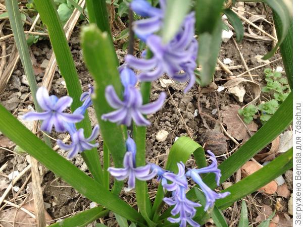 Парад начинают самые обычные гиацинты, которые у нас растут в полудикой форме... Не знаю, как было изначально, но такие простенькие голубенькие цветочки можно встретить разбросанными на полянках в рощах и одичавших парках...