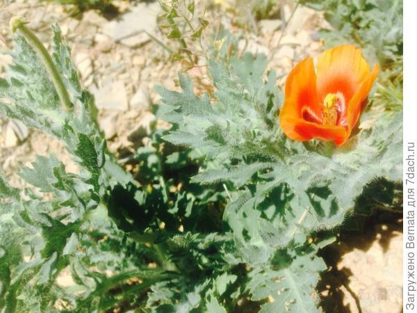 """Много всяких растений... Это, какой-то мак """"наскальный""""..."""