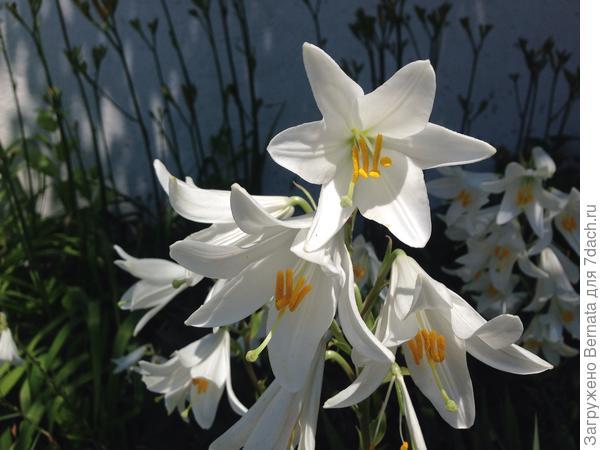В моем регионе такие лилии растут чуть ли не под каждым забором, потому-что, помимо лечебных свойств, они еще и красивые, вдобавок, очень быстро разрастаются.