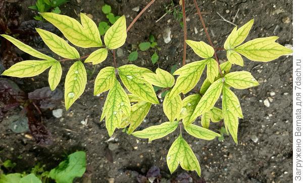 Молодые листья древовидного пиона