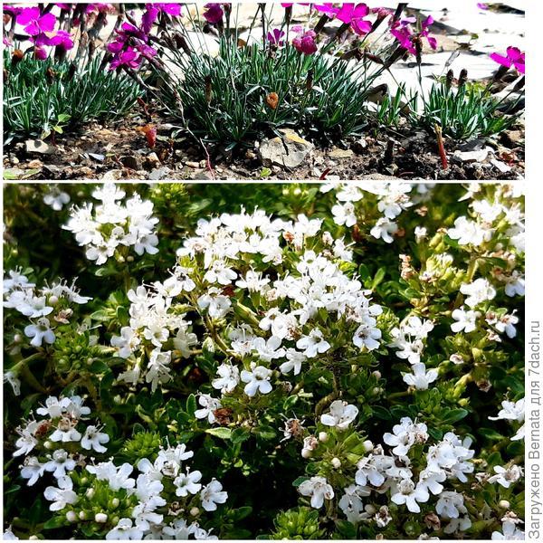 Разнообразен и богат моего сада аромат, или Моя коллекция ароматических растений