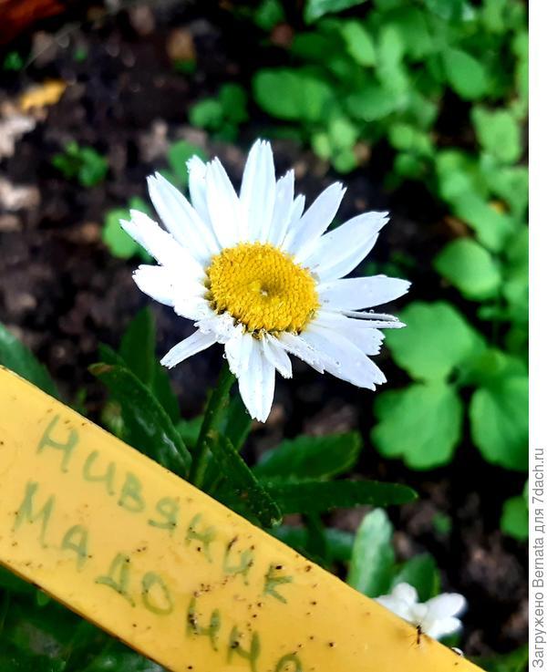 12 июля - полное раскрытие первого цветка нивяника Мадонна